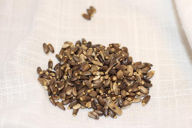 semena ostropestřce