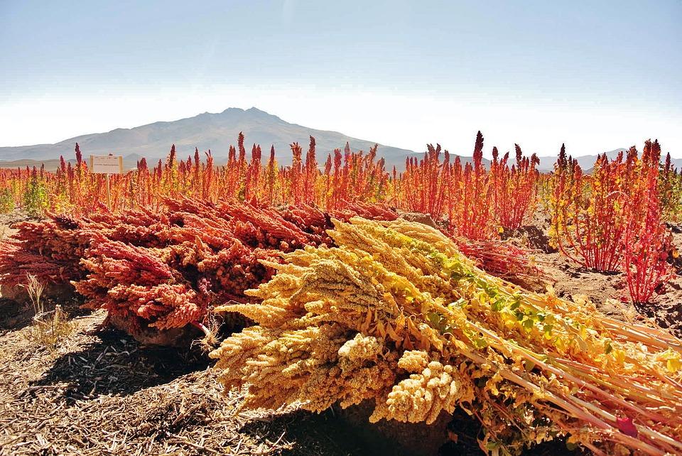 sklizeň quinoy